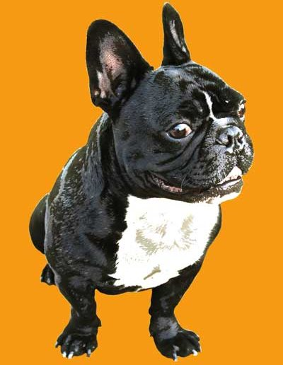 frenchbulldog2-pop-art